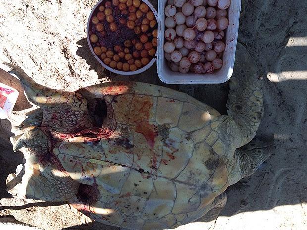 Ovos de tartaruga ferida em Porto Seguro, na Bahia, foram aproveitados (Foto: CETAS Porto Seguro /IBAMA)