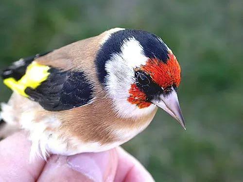 معلومات عن طائر الحسون الصغير احد اجمل الطيور فى العالم