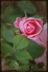 Roses: antique 2