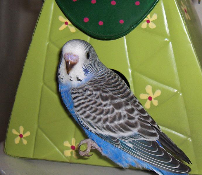 File:Parakeet young.jpg