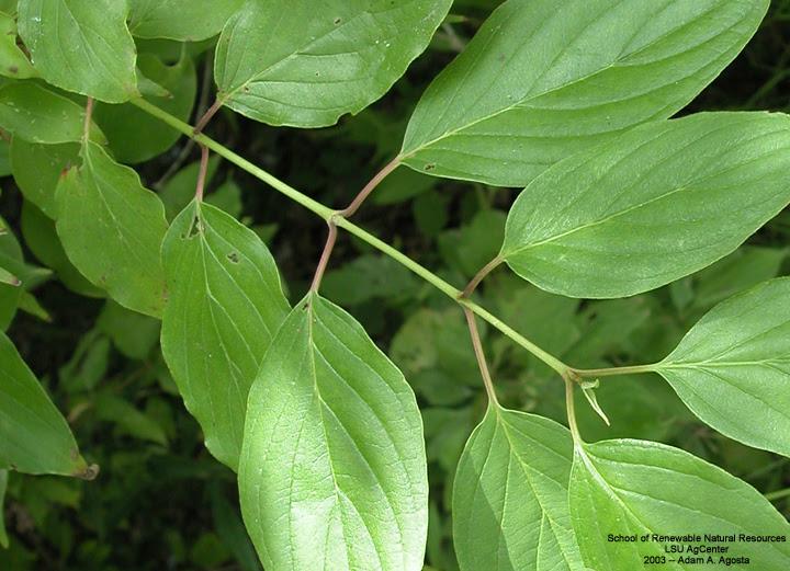 Louisiana Plant Id Cornus Drummondii Roughleaf Dogwood