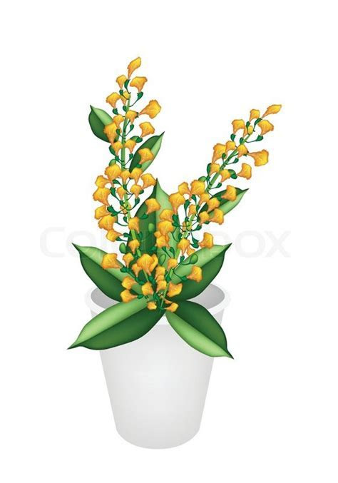 Beautiful Yellow Padauk Flower in A Flower Pot   Stock