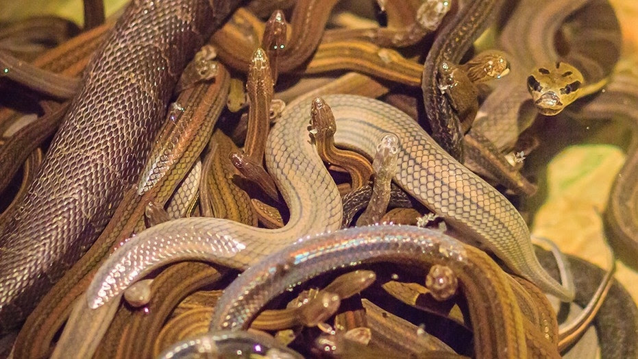 Snakes on a plane just got literal. A passenger flying from Düsseldorf to Moscow caused a stir when it was discovered he was carrying 20 snakes in his bag.