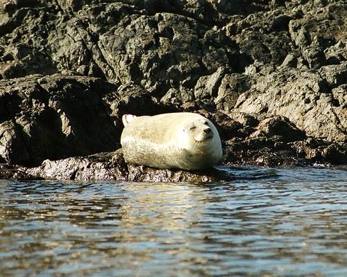 Happy Seal 8x10
