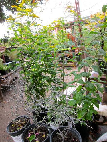 "Corokia cotoneaster and Solidago rugosa ""Fireworks"""