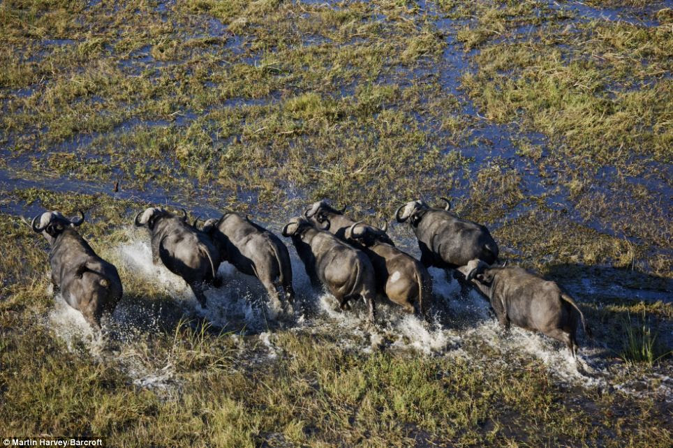 Beasts from above: A herd of Cape Buffalo move through the flood waters in the Okavango Delta in Botswana