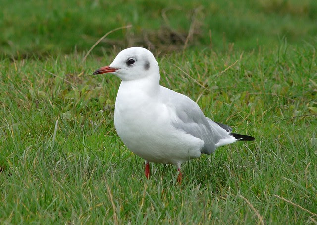 25067 - Black Headed Gull, Penclawdd