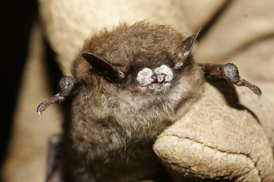 Close-up of white-nose infected bat