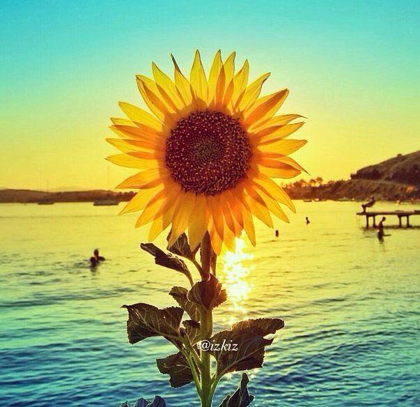Summer Sunflower | Lock/Home Screen Wallpapers | Pinterest