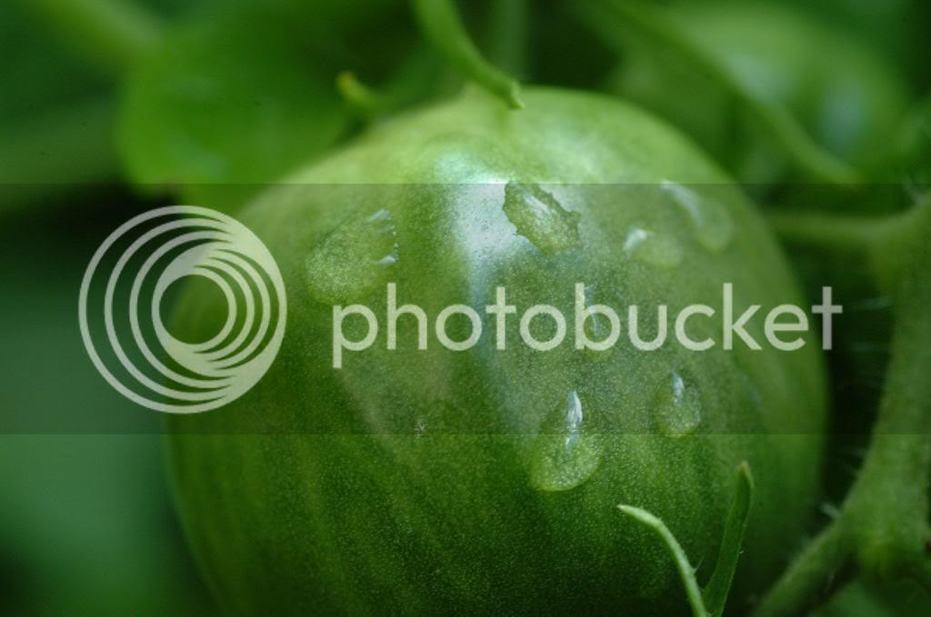 tomato photo: Green Tomato DSCF0036_zpscad65374.jpg