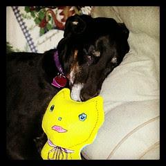 Lola is home resting after biopsy #2   #dogs #sleepy #love #dobermanmix #love