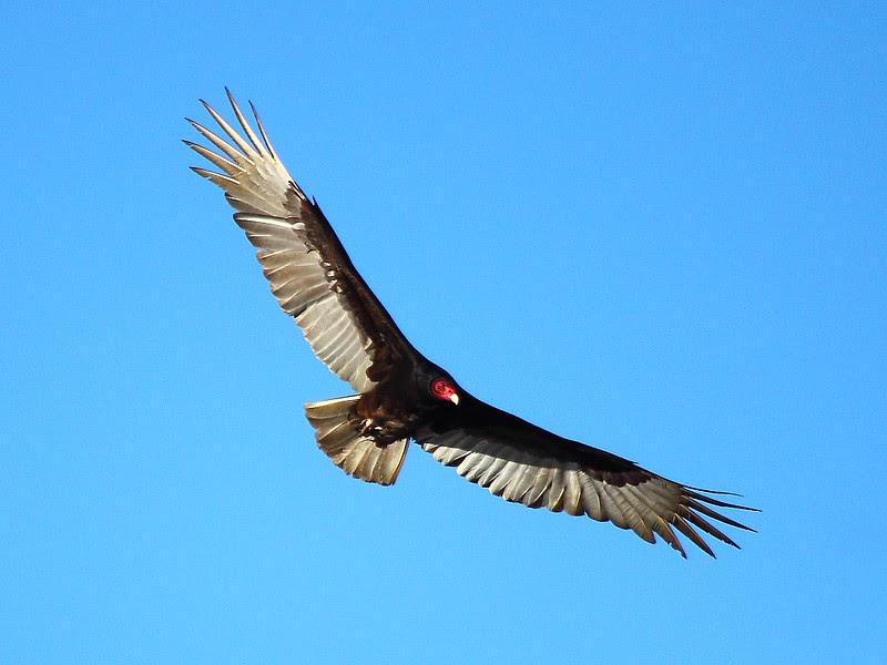 IMG_8900 Turkey Vulture, Sacramento National Wildlife Refuge