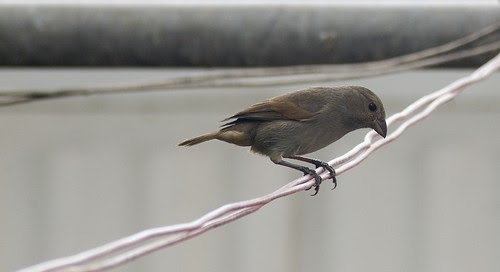 Sparrow on the Line