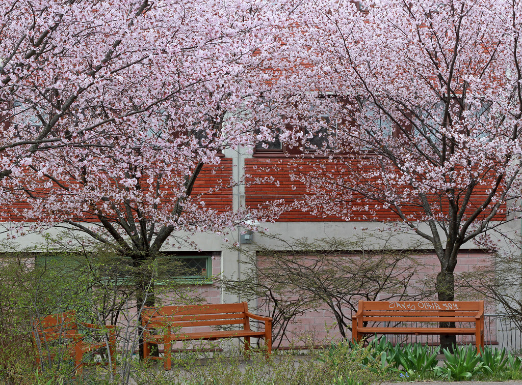 Under the Cherry Blossom