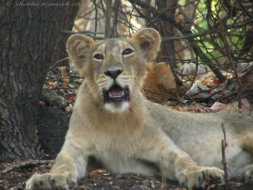 Lioness 8