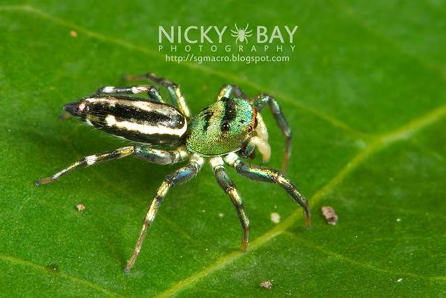 Jumping Spider (Salticidae) - DSC_9909