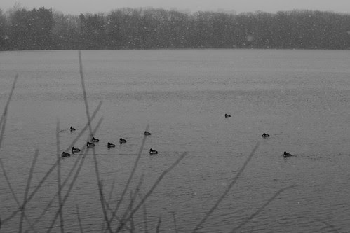 ducks  035