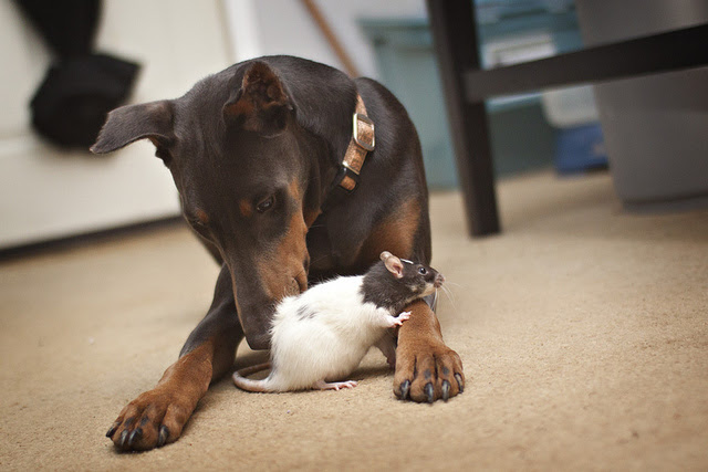 Friendship animals.  Dog and rat