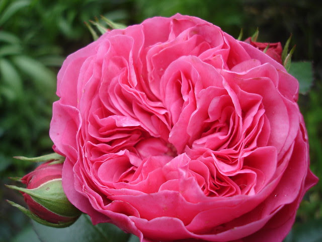 Baronesse  rosa di Tantau