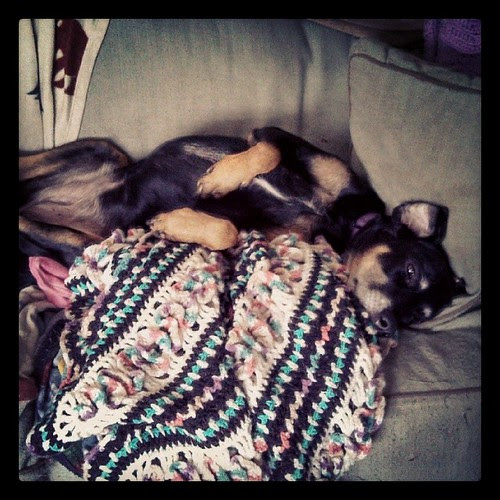 Lazy Sunday morning, Lola style... #dogstagram #dobermanmix #crochet blanket made by my Mom