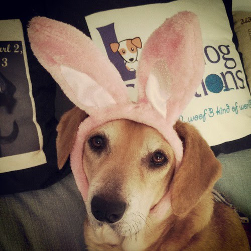 Princess Sophie Bunny #dogstagram #easter #houndmix #adoptdontshop #rescue
