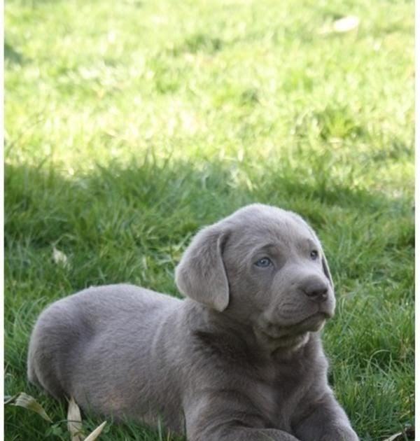 Labrador augen schwarzer blaue Tier Motive