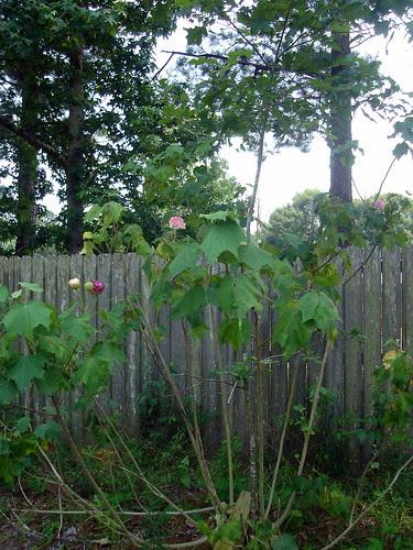 Confederate Roses