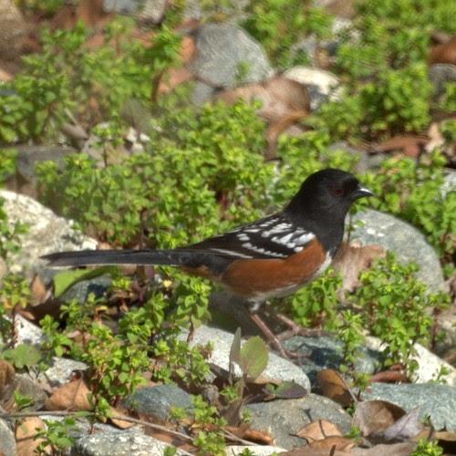 CA Bird Photos: Birds of California: California Backyard birds