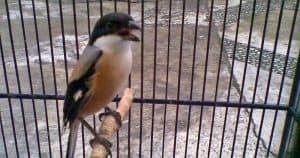 Cendet atau yang di kenal sebagai pentet merupakan salah satu jenis burung predator yang g 10 Cara Mengatasi Burung Cendet Miyik Paling Mudah