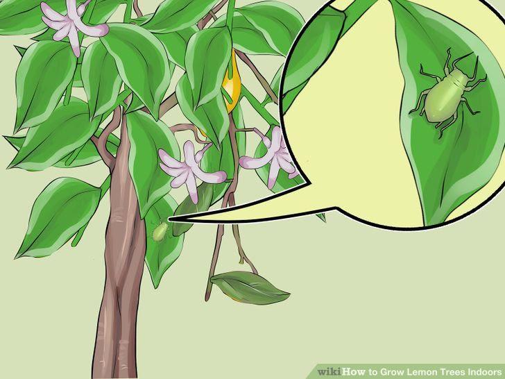 Grow Lemon Trees Indoors Step 22 Version 2.jpg