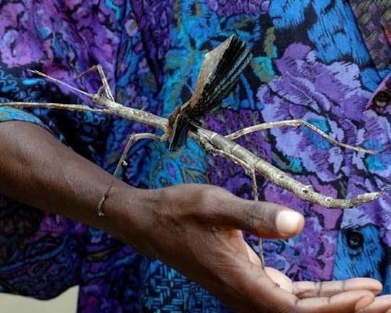 Τα 16 μεγαλύτερα έντομα στον κόσμο (7)