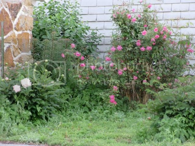 photo Well house bed with oldest rose a china_zpsqc0sbrxs.jpg