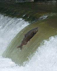 salmon vert5