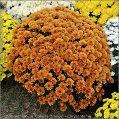 Chrysanthemum 'Conella Orange' - Chryzantema 'Conella Orange'