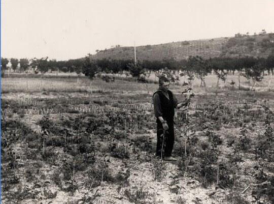 Plantando moreras en los terrenos del Monasterio de San Bernardo en Toledo en 1925.