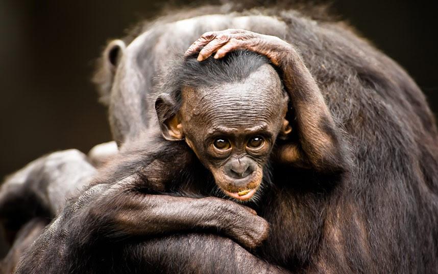 Μωρό Μπονόμπο, 1 έτους. Οι μπονόμπο είναι το σπανιότερο είδος των ανθρωποειδών πιθήκων.