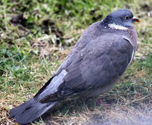 Wood Pigeon in the Rain
