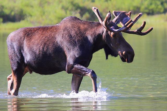 IMG_4942 Bull Moose, Glacier National Park