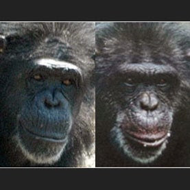 Which of these female chimpanzees acts more dominant?