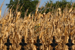 sunflowers among the cornstalks (640x427)