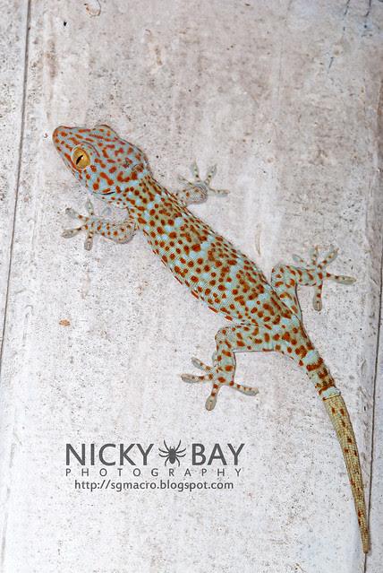 Tokay Gecko (Gekko gecko) - DSC_4563
