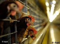 Contaminação com substãncia cancerígena já causou a interdição de mais de mil granjas na Alemanha e o sacrifício de mais de 8 mil frangos