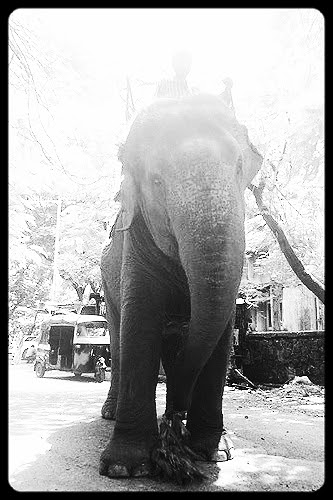 The Elephant's Homecoming by firoze shakir photographerno1