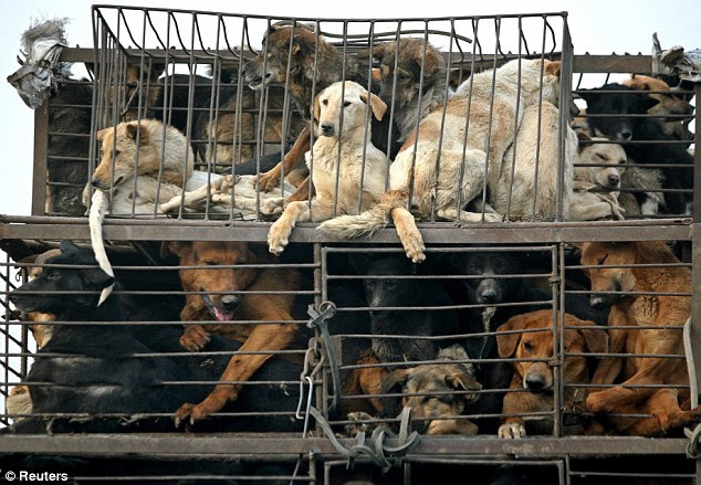 Final journey: Dogs look out of their cages from a truck on a motorway on the outskirts of China's capital Beijing. Dog meat is a delicacy in China, especially in the southern provinces (File photo)