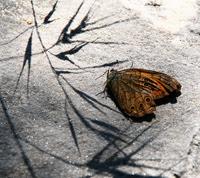 Dead_butterfly_by_bluegallery_flick