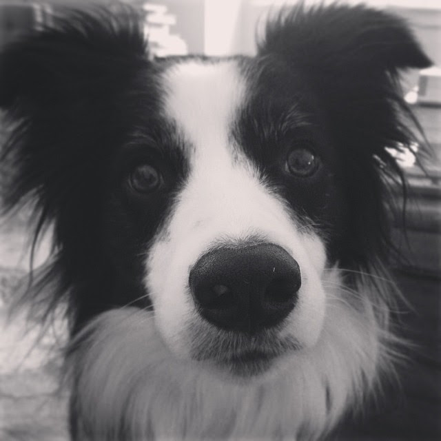 the collie eye