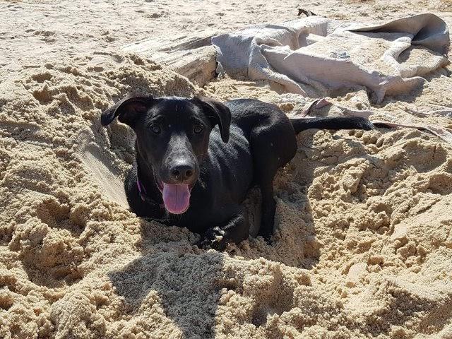 Baxter – 7 month old male Labrador Cross