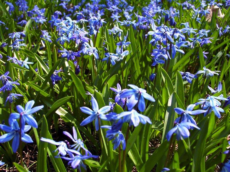 blue flower wallpaper. Blue Spring Flowers wallpaper