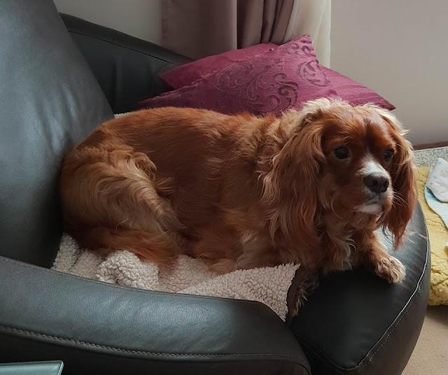 Mili – 3 year old female Cavalier King Charles Spaniel