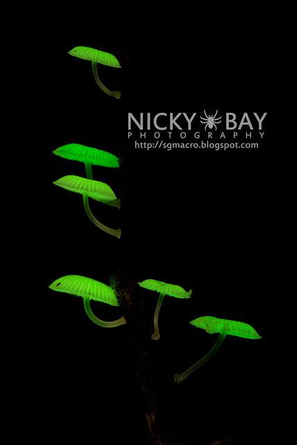 Bioluminescent Fungi (Mycena illuminans?) - DSC_8032